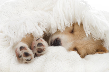 beige puppy sleeps in a blanket
