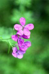 Florecilla silvestre rosada, río Ambroz, Aldeanueva del Camino