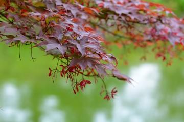 Roter Fächerahorn im Frühling