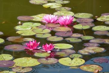 Foto auf Acrylglas Natur Waterlelies