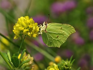 Common Brimstone (Gonepteryx rhamni), butterfly