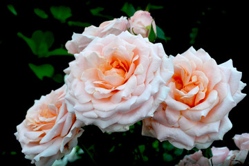 Giant blooms of pink roses orange