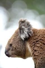 Fototapete - Koala