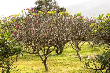 Leafless Plumeria Tree