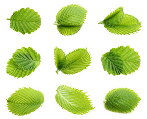 Forest hazelnuts leaves isolated