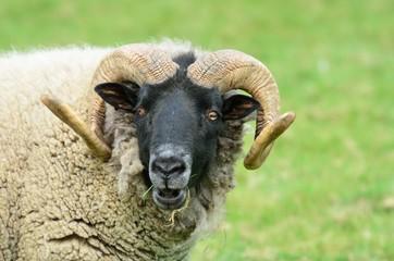 Head of rare breed sheep