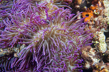 Violet anemone tentacles detail