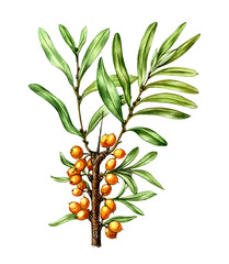 Fruits and leaves of sea buckthorn (Hippophae). Botany