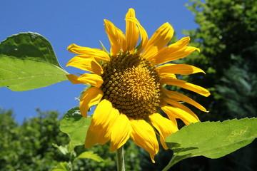 Sonnenblume unter blauem Himmel