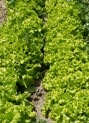 Bio green salad field detail