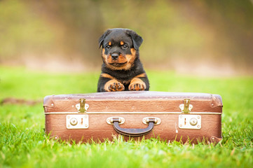 Fototapete - Rottweiler puppy sitting on the suitcase