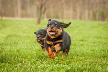 Wall Mural - Rottweiler puppies running
