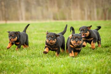 Four rottweiler puppies running