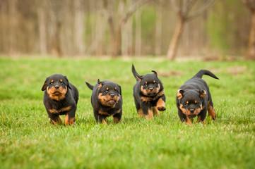 Wall Mural - Four rottweiler puppies running