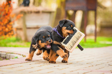 Fototapete - Rottweiler puppies playing with paint brush