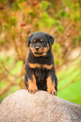 Wall Mural - Rottweiler puppy sitting on the stone