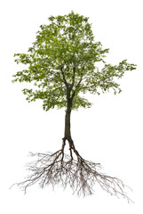 single green linden tree with root