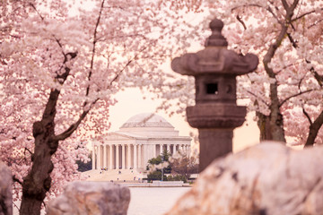 Fototapete - Jefferson Memorial during the Cherry Blossom Festival. Washingt