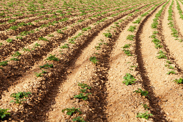 Rows of youngs potatoes