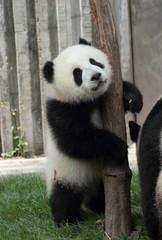 Panda cub hug a tree stand