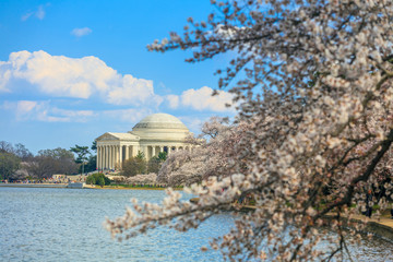 Wall Mural - the Jefferson Memorial during the Cherry Blossom Festival. Washi