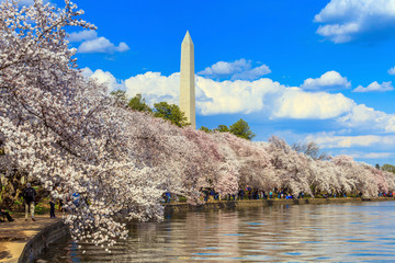 Fototapete - Washington DC cherry blossom and Washington Monument.
