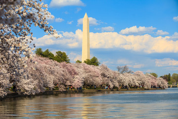 Wall Mural - Washington DC cherry blossom with lake and Washington Monument.