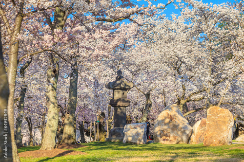 Wall mural Cherry Blossom