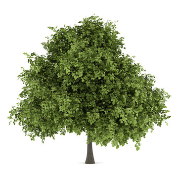 small-leaved lime tree isolated on white background
