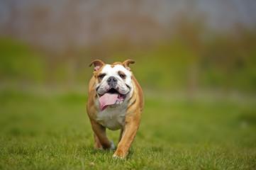 English Bulldog dog puppy playing outdoors