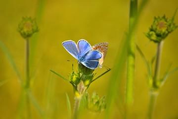 Common Blue (Polyommatus icarus) butterflies sitting on flower