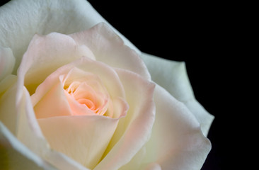 White and pink rose on a black background