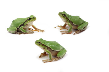 green tree frog on white background