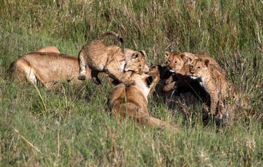 Lion cubs on pray