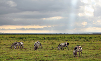 Kenyan Zebra's