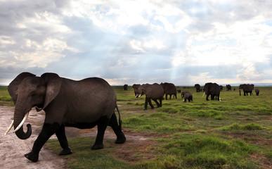 Amboseli elephants - Kenya
