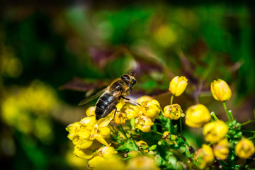 bee pollinates a yellow plant
