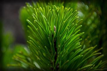 beautiful green pine