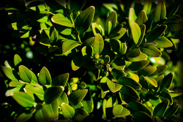 buxus macro, detail sheet