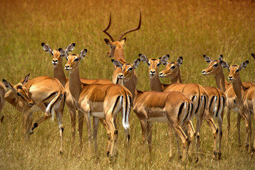 Herd of impalas in Ambosel