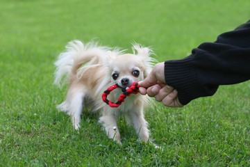 Size doesn't matter - a longhair chihuahua competing tug of war
