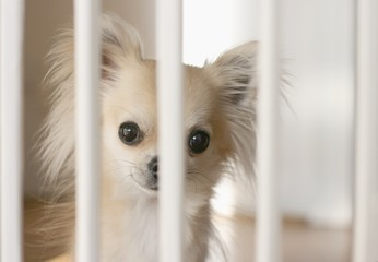 Small chihuahua dog waiting behind indoor dog fence