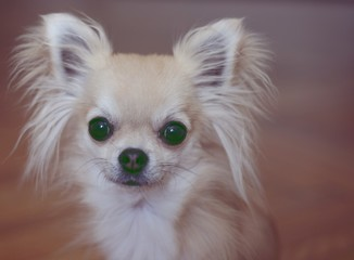 Cute tiny longhair chihuahua looking at camera