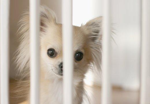 Small chihuahua dog waiting behind indoor dog fence