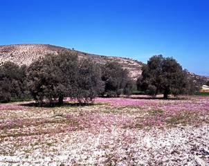 Olive trees and spring flowers, Troodos Mountains, Cyprus.