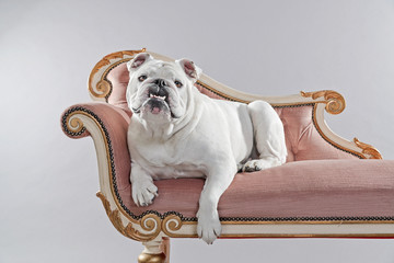 White english bulldog lying on vintage sofa. Studio shot against