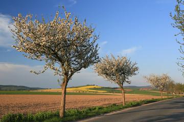 Landstrasse mit blühenden Obstbäumen