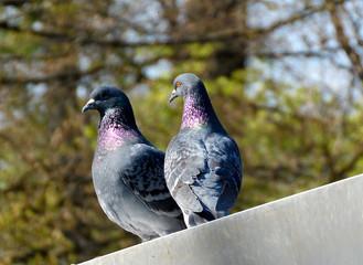 Taubenpaar auf dem Dach