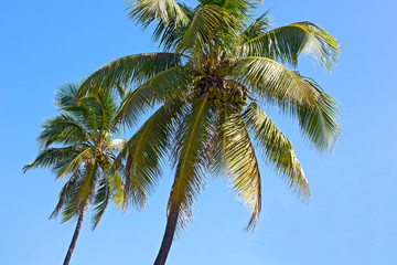 Coconut trees against blue sky.
