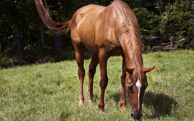 Horizontal color image horse mare grazing in a green meadow